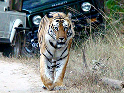Bengal tiger safari